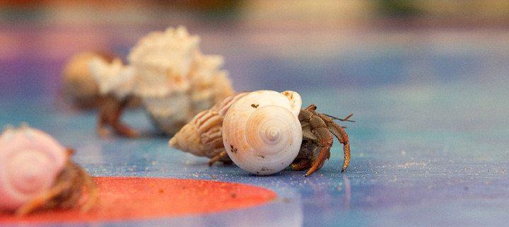 Mid Atlantic Hermit Crab Challenge