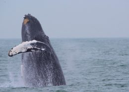 Virginia Beach Hotels - Oceanfront Whale Watching